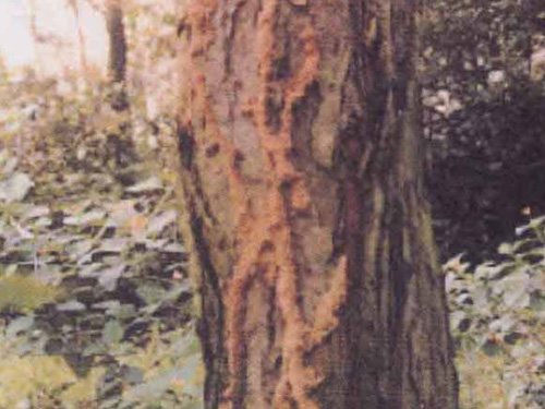 古树白蚁窝